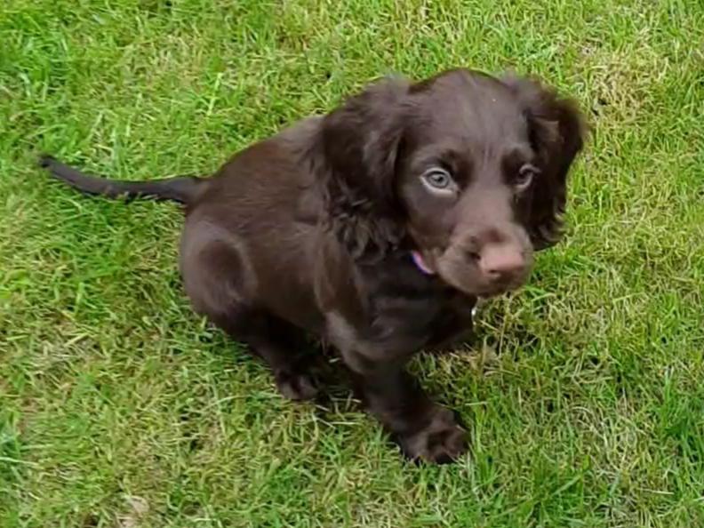 WCS puppy